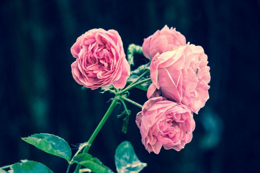 Czym są wieczne róże?
